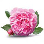 rosa-centifolia-diamond-rose.jpg